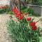 Kinyíltak a tulipánok 001