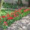 Kinyíltak a tulipánok 002