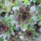 kővirág