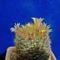 Mammillaria viereckii