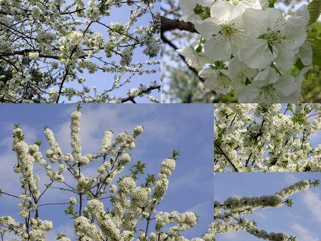 Tavasz Sopron: Cseresznyevirágzás