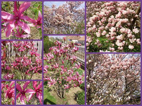 Tavasz Sopron: Cseresznyevirágzás,Tulipánfa