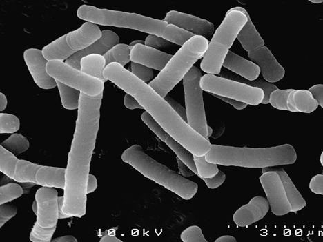 Bacillusok