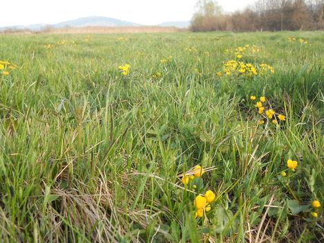 Tavaszi sárga virágok.