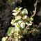 citromillatú kakukkfű