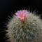 Echinomastus macdowellii