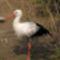 fehér gólya 2