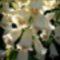 gyűszűvirág