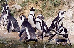 pápaszemes pingvin 4