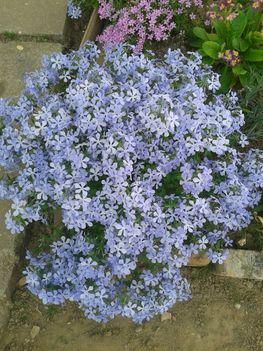 árlevelü láng virág