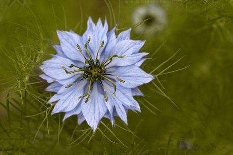 Kerti katicavirág - Nigella sativa