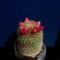 Mammillaria pitcayensis