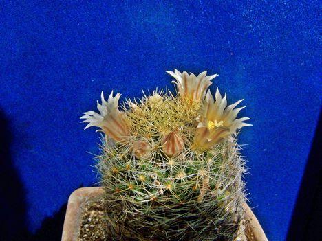 Mammillaria viereckii v.brunispina