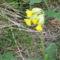 Tavaszi kankalin
