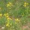 Tavaszi sárga virág.
