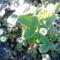 Virágzik a földieper