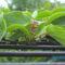 5.7. A lila mini kivi porzó is fog virágozni