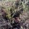Virágzik a fekete áfonya