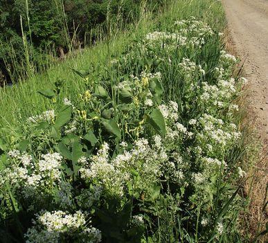 farkasalmafélék (Arisolochiaceae) - a képen a sárga virág.