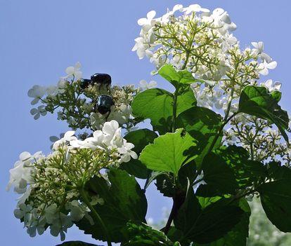 Kányabangita ( Viburnum opulus ) -