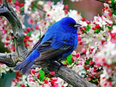 Kék  dalos madár