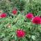 Pünkösdi rózsám