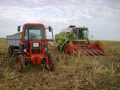 napraforgó aratás után