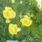 Bokorrózsa sárga