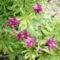 Harangvirág lila