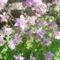 Harangvirág világoslila