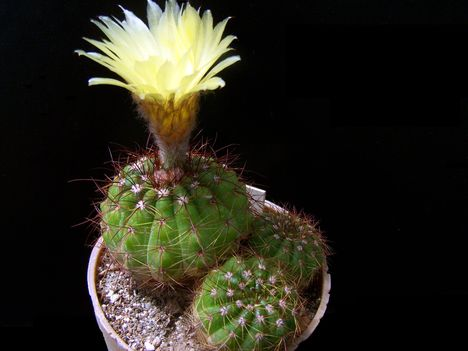 Notocactus ottonis v rubrispinus