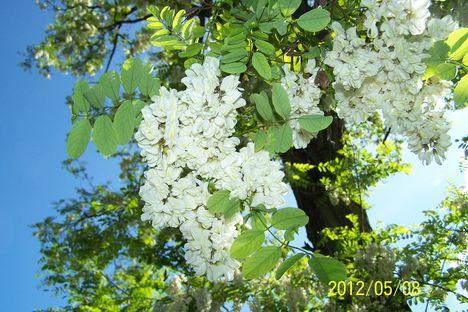 Valamikor fehér akác volt az én virágom