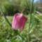 kockasliliom.Fritillaria meleagris