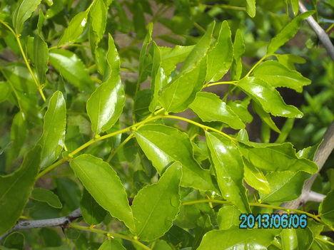 A jujuba tele van bimbóval