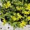Borsos varjúháj (Sedum acre, Crassulaceae)