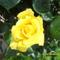 futórózsa virága