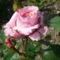 Puding rózsaszín