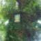 tölgyfa a Szűzanya képpel