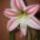 Amarillis_1069654_3691_t