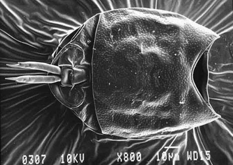 Kerekesféreg páncélja