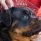 Rottweiler ADRK Teszt ZTP /  A koponya hossz és az orrhossz mérésére