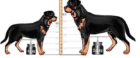Rottweiler súlya,magassága