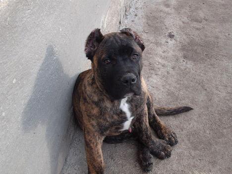 Kanári szigeteki fiú kutyám