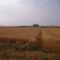 Szőkül a mező