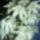 yucca filamentosa-flaccida virágzás