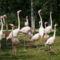 Rózsás flamingók