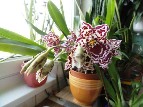 DSC0045; Cambria orchidea