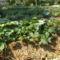 Kiskerti földtakarás az uborkánál