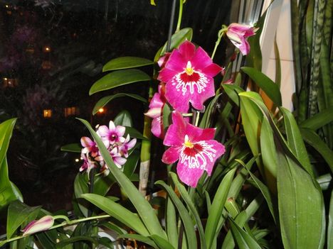 Orchideák 19, Miltónia