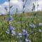 Mezei katáng (Cichorium intybus L.): a természetben így néz ki ez a csoda